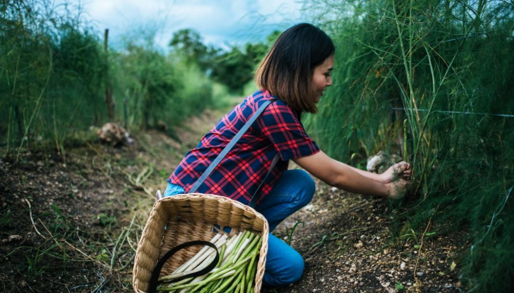 young-farmer-harvest-fresh-asparagus-with-hand-put-into-basket-min